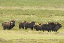Muskox herd on summer tundra, Whitefish Lake, Northwest Territories, Canada — Stock Photo