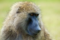 Portrait of olive baboon in natural habitat of Kenya, East Africa — Stock Photo