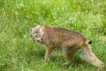Canadian lynx on green grass in Kamloops, British Columbia, Canada. — Stock Photo