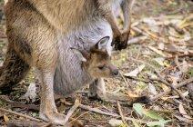 Western gray kangaroo joey and adult animal, Kangaroo Island, Australia — Stock Photo