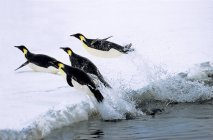Emperor penguins returning on shore after foraging in Weddell Sea, Antarctica. — Stock Photo