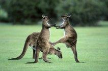 Juvenile western gray kangaroos kick-boxing in practice fighting, Kangaroo Island, Australia — Stock Photo