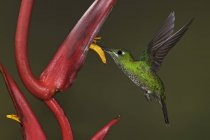 Incoronato verde brillante colibrì che si alimenta al fiore durante il volo, close-up. — Foto stock