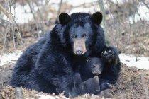 Женщины черный медведь с новорожденных детенышей в кушетка в зиму, Пенсильвания, США. — стоковое фото