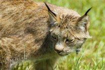 Lince canadense andando na grama verde, close-up — Fotografia de Stock