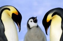 Emperor penguins with chick against snow, close-up. — Stock Photo
