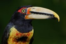 Pale-mandibled aracari perched in forest of Ecuador. — Stock Photo