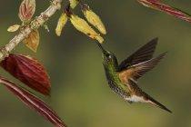 Beija-flor-de-cauda-lustre coronet alimentando a flores enquanto voando, close-up. — Fotografia de Stock