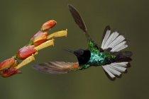 Бархат фиолетовый Коронет колибри кормления на цветок, в то время как летающие, макро. — стоковое фото