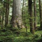 Árbol de cedro amarillo en Caren Range, Península de Sechelt, Columbia Británica, Canadá . - foto de stock