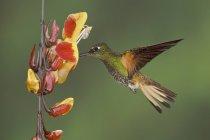 Бафф белохвост Коронет колибри кормления на цветы во время полета, макро. — стоковое фото