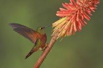 Каштановогрудая Коронет колибри усаживаться на ветке и кормления на цветы. — стоковое фото