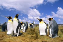 Group of courting king penguins at meadow of Salisbury Plain, South Georgia Island, Southern Atlantic Ocean — Stock Photo