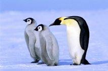 Emperor penguin with chicks on snow, Weddell Sea, Antarctica. — Stock Photo