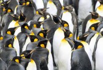 Molting king penguins at Salisbury Plain, South Georgia Island, Southern Atlantic Ocean — Stock Photo