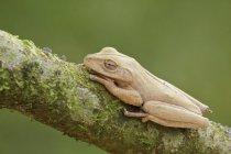Тропическая лягушка, сидели на ветке в Эквадоре. — стоковое фото