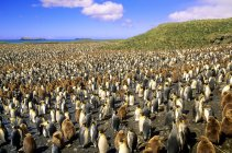 King penguins and chicks at Salisbury Plain, South Georgia Island, Southern Atlantic Ocean — Stock Photo
