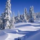 Заснеженные деревья на горе Эльфинстоун вблизи Гибсонс, Солнечный берег, Британская Колумбия, Канада — стоковое фото