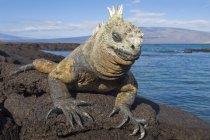 Marine iguana basking on rocks at Fernandina Island, Galapagos Archipelago, Ecuador — Stock Photo