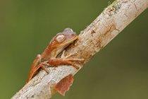 Маленькая лягушка Холдинг на ветви дерева в Эквадоре. — стоковое фото