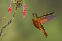 Colibrì pettocastano coronet che si alimenta a fiori tropicali durante il volo. — Foto stock