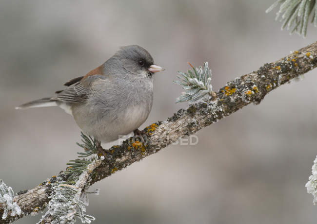 Очі темно junco птах, Підносячись на засніжених conifer відділення. — стокове фото