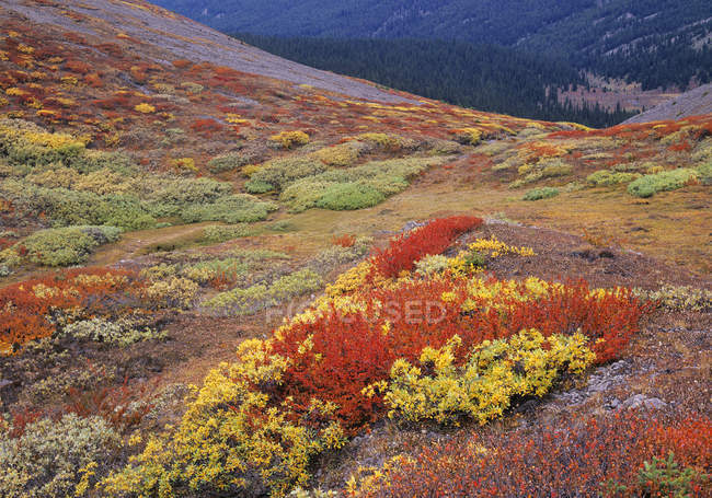 Autumnal Wilcox Pass above Tangle Creek Valley, Columbia Icefields, Jasper National Park, Alberta, Canada — Stock Photo