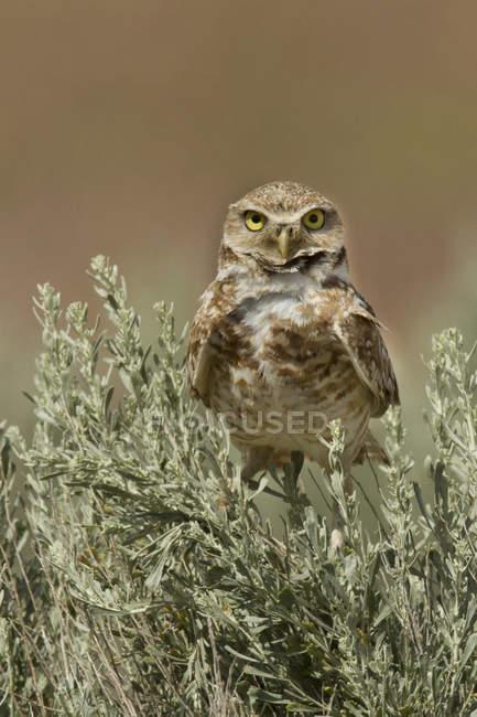 Burrowing gufo appollaiato in erba, close-up. — Foto stock