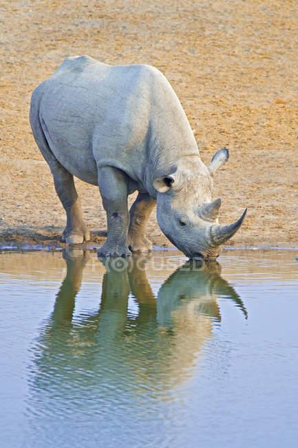 Rinoceronte negro en peligro de extinción, beber en el hueco de agua en el Parque Nacional de Etosha, Namibia, África - foto de stock