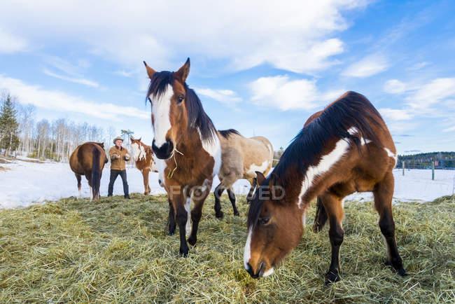 Pferde, die sich im Winter von Heu ernähren, 83 Meilen Haus, Karibus-Region, Britisch Columbia, Kanada — Stockfoto