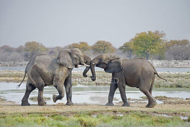 Молодые африканские слоны играют в водоёме в Национальном парке Этоша, Намибия — стоковое фото