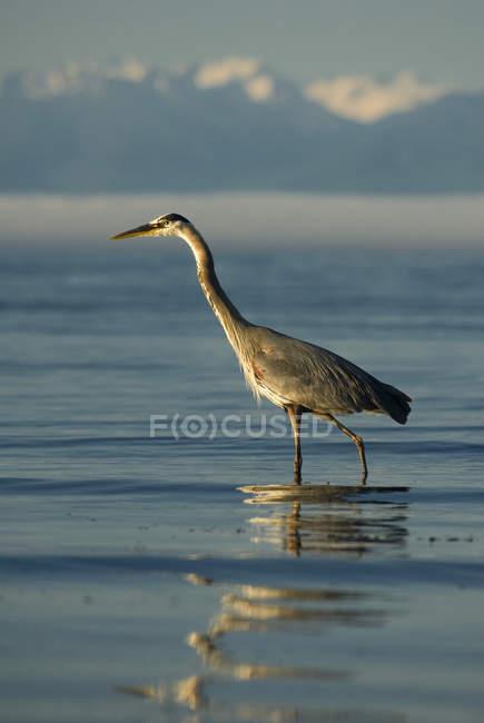 Great blue heron bird wading in Esquimalt Lagoon, British Columbia, Canada. — Stock Photo
