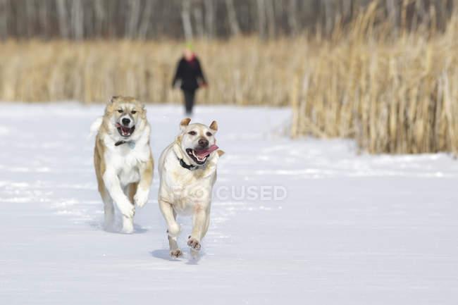 Две собаки бегают по снегу с человеком на заднем плане, Ассинибойский лес, Виннипег, Манитоба, Канада — стоковое фото