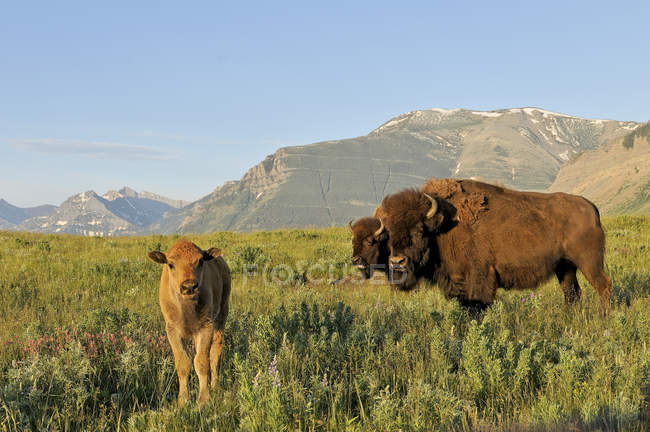 Plains bisons with calf in mountain field of Waterton National Park, Alberta, Canada — Stock Photo