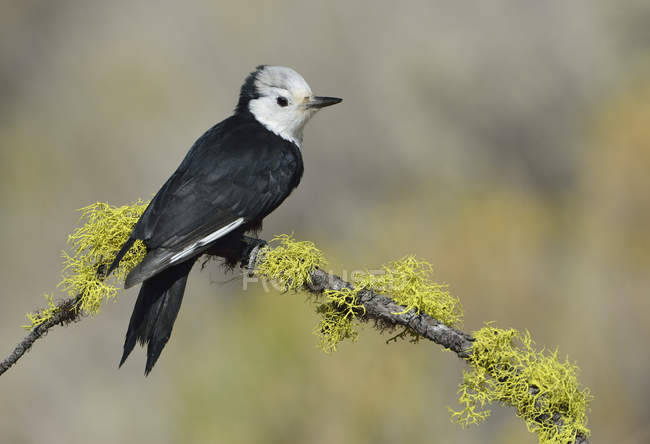 Pájaro carpintero de cabeza blanca sentado en la rama del árbol con musgo, primer plano . - foto de stock