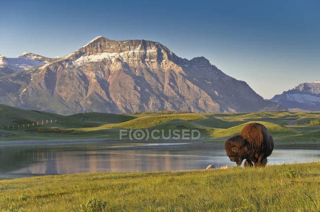 Plains bison grazing on meadow by lake shore in Waterton Lakes National Park, Alberta, Canada — Stock Photo