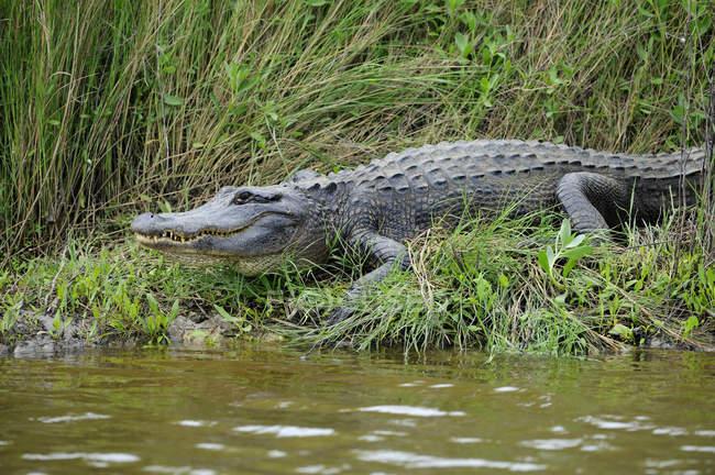 Alligator marchant vers l'eau au Brazos Bend State Park, Texas, États-Unis d'Amérique — Photo de stock