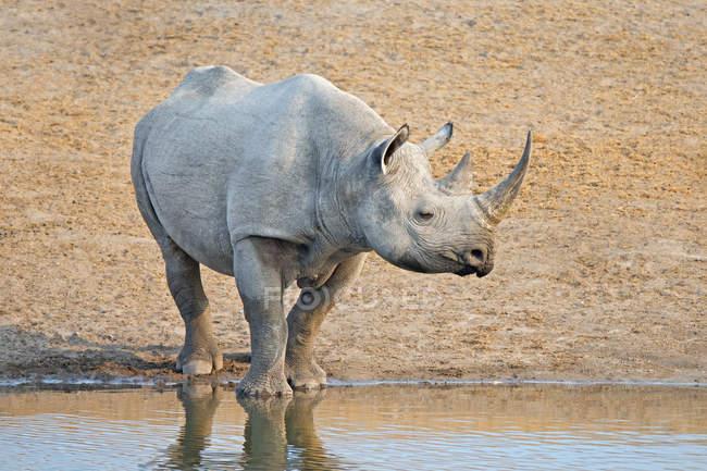 En peligro permanente de rinoceronte negro en el agujero del agua en el Parque Nacional de Etosha, Namibia, África - foto de stock