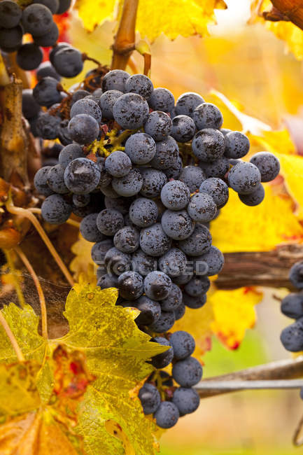 Cabernet Sauvigion grapes on vine ready for harvest, close-up. — Stock Photo