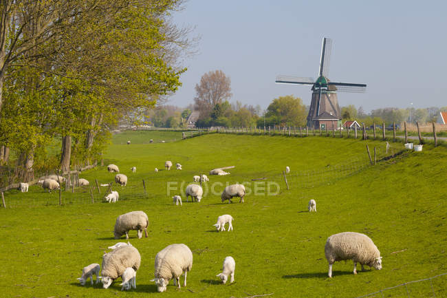 Sheep grazing on pasture with old windmill near Obdam, North Holland, Netherlands — Stock Photo