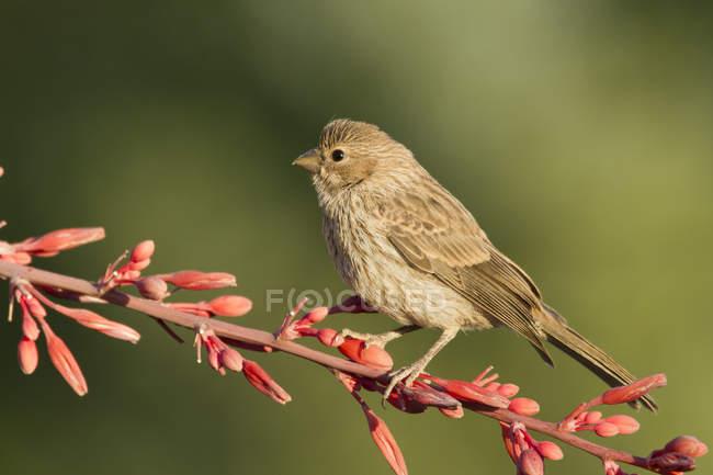 Roselin domestique perché sur une branche fleurie — Photo de stock
