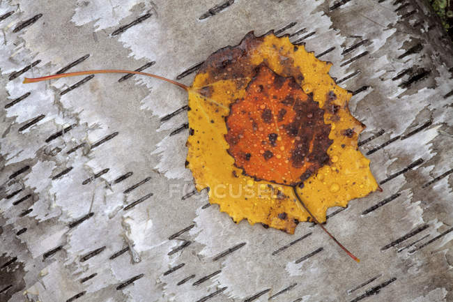 Aspen leaf on birch bark in autumn, close-up — Stock Photo