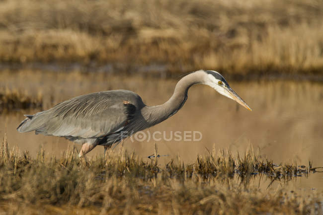 Great blue heron bird hunting in wetland. — Stock Photo