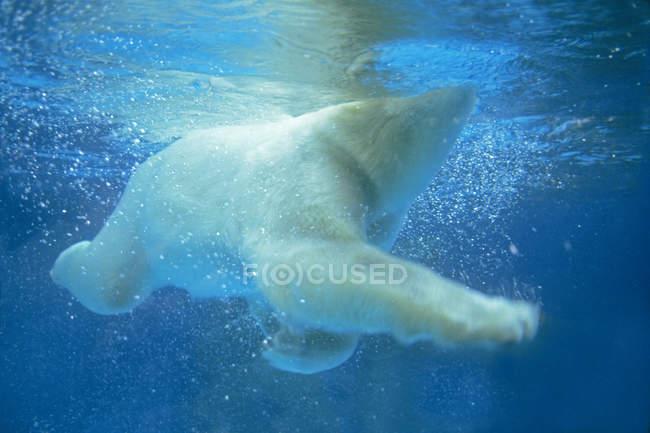Orso polare che nuota sott'acqua nell'oceano blu . — Foto stock