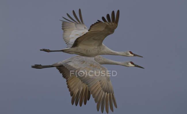 Gru di Sandhill volano nel cielo cupo grigio — Foto stock
