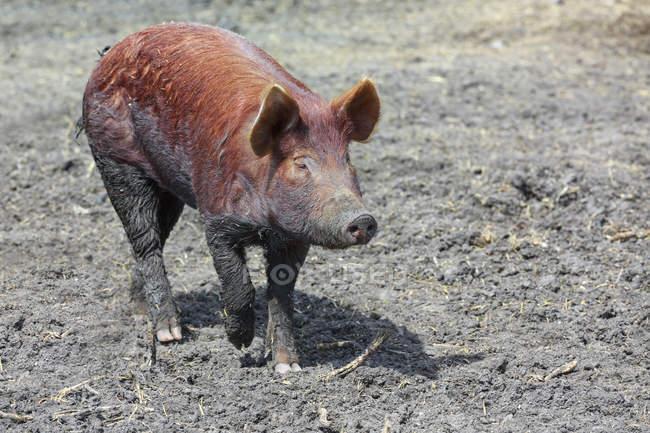 Tamworth Pig Walking In Mud At Farm Non Urban Scene Rural