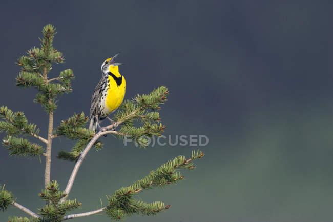 Western meadowlark cantando em pastagens no topo da conífera árvore . — Fotografia de Stock