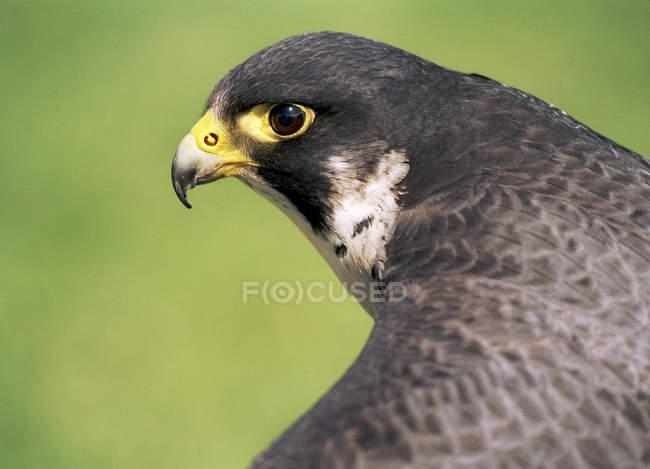 Primo piano del tempo libero di uccello grigio falco. — Foto stock