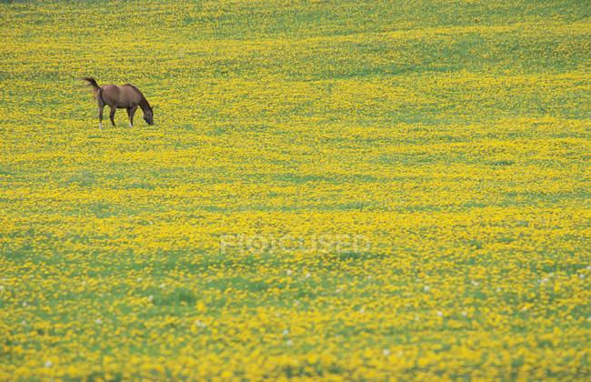 Pferdeweide im Löwenzahnfeld in Prince George Region, britische Kolumbia, Kanada. — Stockfoto