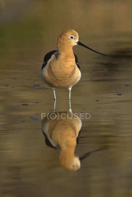 Aves de aguacate estadounidenses de pie en el estanque y reflejándose en la superficie del agua . - foto de stock